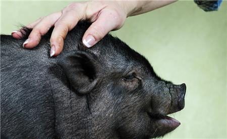 养猪人预判:今年6-8月为生猪存栏高峰