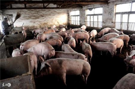 猪价惨跌,最倒霉的是农村养猪人,他们活该被淘汰?