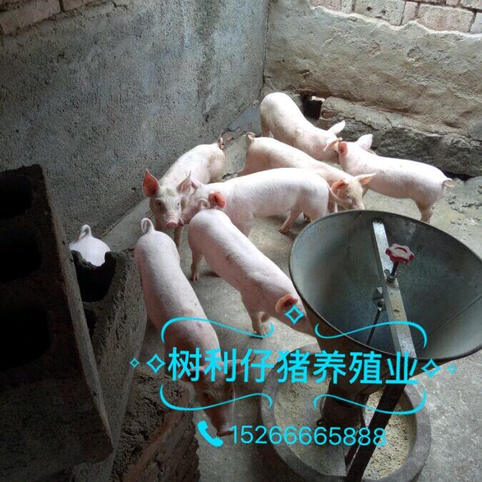 15266665888山东仔猪价格