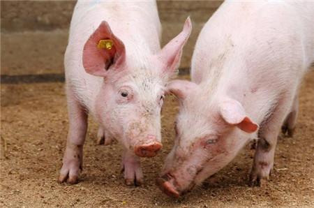 """猪价现""""滑铁卢""""式暴跌,养猪寒冬来临,散养户咋办?"""