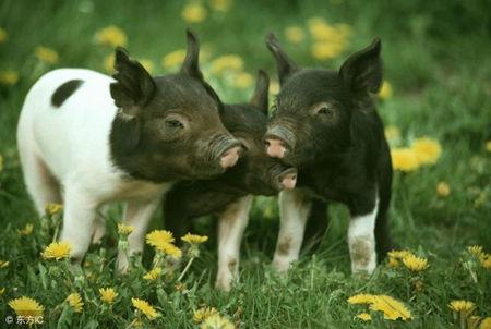 猪价狂跌到底谁在背后操作,老手们怎么度过寒冬?