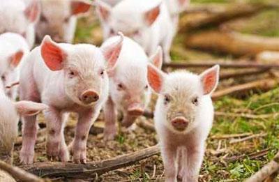 揭秘美国养猪业,值得养殖户们好好看看!