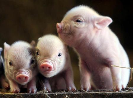 2018年3月21日(20至30公斤)仔猪价格行情走势