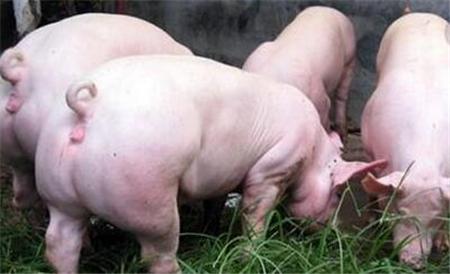 猪价下跌终于有原因了!真相竟然是这个....
