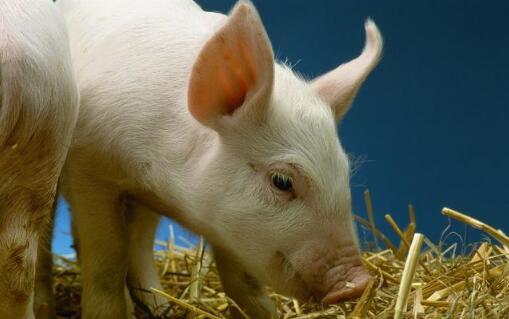 今年全国猪价一再创新低,养猪人究竟还能坚持多久?