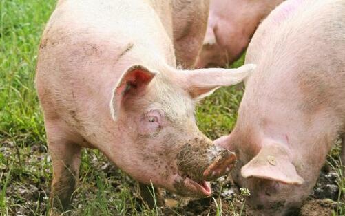 养猪人外购猪苗小技巧,引入管理很重要!