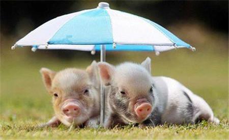 惊!猪价不给力,有养猪场开始摔死仔猪了?