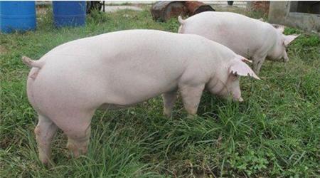 大风险下,小型养殖户和大型养殖户谁先崩溃?