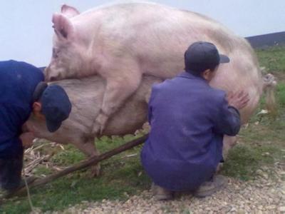 母猪产后这样做的农民,产仔数都已经达到了12头,后悔知道晚了!