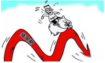 猪价太惨,养猪人开始极端化,但真正的养猪人不放弃!