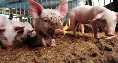 三大利好因素帮助猪价止跌,猪价上涨指日可待!