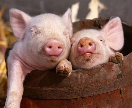 保育猪一定会在这几方面出现问题注意了