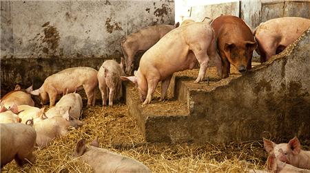 看规模化猪场如何管理怀孕舍!