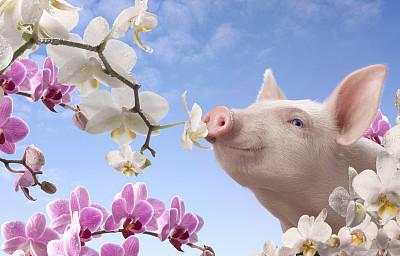 想要猪长得壮长得快,必须做好仔猪生长管理
