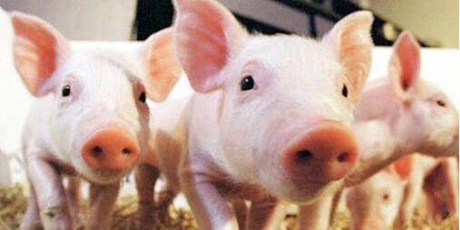 """""""猪脸识别""""技术投入使用 未来你吃的可能是一头精致的猪!"""