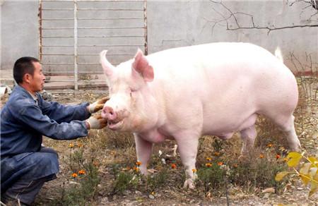 应对猪价阴晴涨跌,家庭猪场才是其中的佼佼者?
