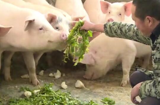 养猪人必看!资深猪场管理者的经验汇总