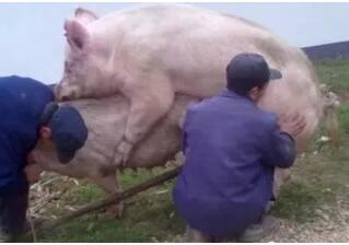 别磨叽!猪场仔猪拉稀就用这个妙方,1吨料仅需30块钱!