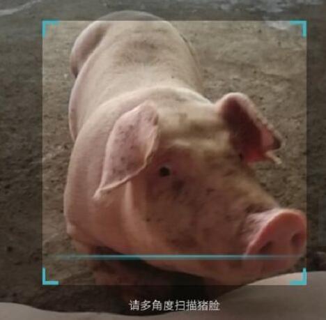"""人工智能养猪真的要来了!""""猪脸识别""""正式发布"""