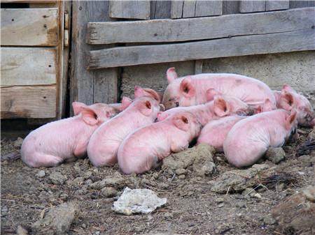 养猪技巧之中药食疗也能让猪增重治疗猪病