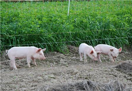 最新猪价,猪价北方几乎一片红,猪价能触底反弹么?