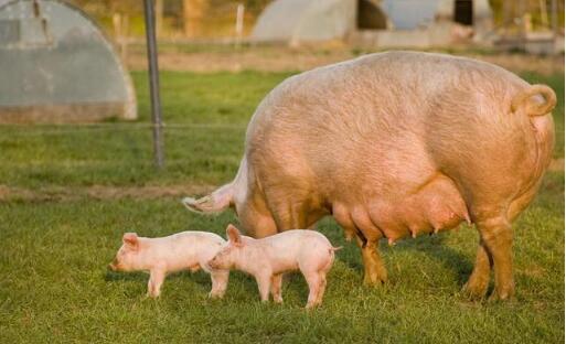 大猪场母猪便秘令人头疼;造成母猪便秘的5个原因!附解决办法!