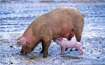 环保税开征倒计时3天,养猪户需要重点关注哪些方面?