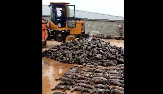 广西这家猪场5000多头猪一夜间全死光了,1500万元血本无归……