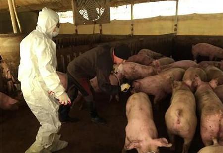 罕见:韩国金浦一家养猪场出现A型口蹄疫病例