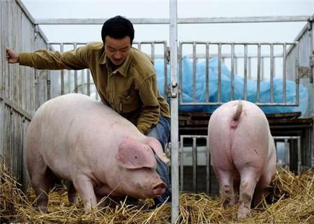 """这次的行情低迷,估计时间要长。首先,大家都是养猪业的精英,都是专业养猪的,不会轻易的退出,""""养那么多年猪了,退出去干啥去?这是很多朋友说的话""""以前很多养猪的朋友,都是把养猪作为一个副业,多是老人和妇女在家养猪,一旦行情不好,马上退出;其次,最近两年的好行情,大家都有了一定的积蓄,有了一定的资本,抵抗风险的能力强了;再者天气越来越热,是猪肉消费的淡季。"""