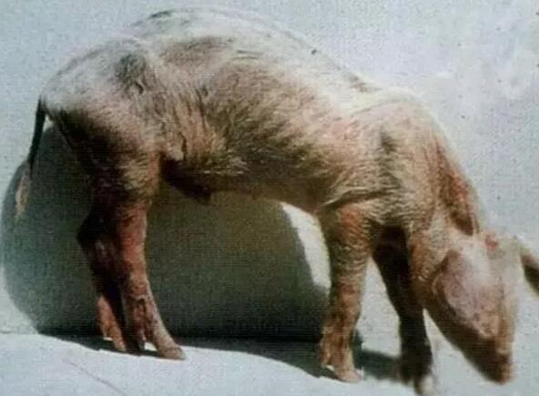 猪场的僵猪,不要急着淘汰,这样处理最划算!