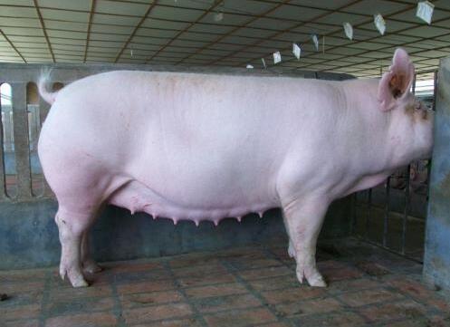 养猪要狠!为了猪场效益,这8种猪一定要淘汰!