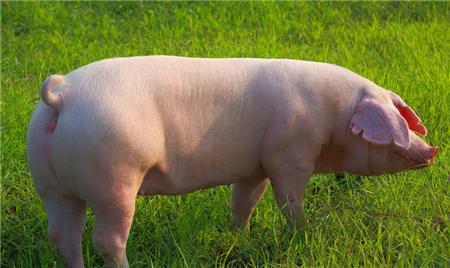 """猪价持续飘红,猪市能开挂破6还是""""昙花一现""""?"""