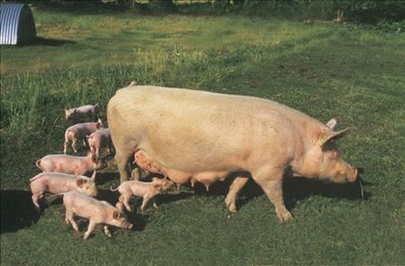 美国低价猪肉对国内猪肉价格冲击减弱,利好生猪市场,但目前生猪市场供应仍较为充足,屠宰收购并无难度,需求也未出现明显好转的迹象,建议有适重猪源的养殖户密切关注近期生猪市场的行情走向。