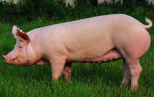 后背母猪不发情,养猪人怎么办?