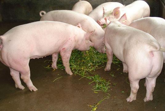 注意!最近高烧、母猪流产频发,究竟是什么问题?