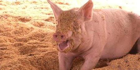 母猪分娩知多少,分享1个缩短母猪产程的简单窍门?