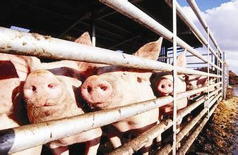 批次化生产--规模化猪场高效管理的趋势