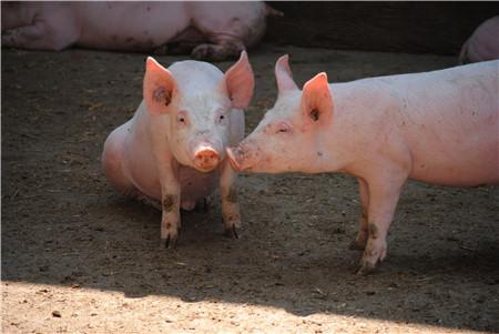 还真打啊?美国猪农:我以为特朗普和中国只是吵吵架!