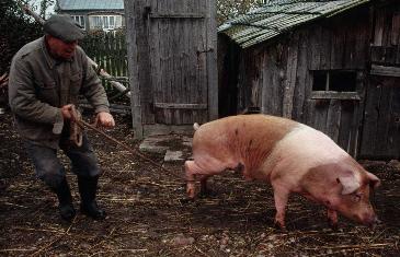 致敬养猪人:他们奉献了所有,却忍受着折磨与误解