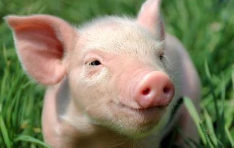 你以为拼命压栏真的可以抬高猪价吗?