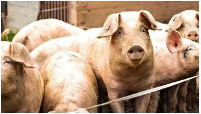 养猪场猪群被咬得遍体鳞伤,原因让你想不到!