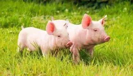 中国病毒追踪者:2万头猪因蝙蝠暴亡,爆发地在首例非典附近