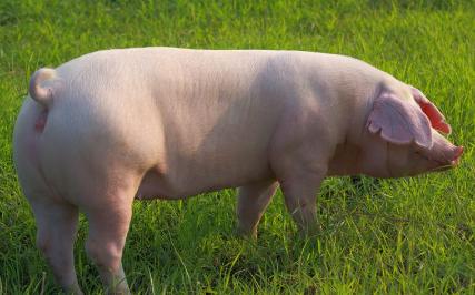 农村养猪人老马靠这个小操作,他的母猪皮红毛亮,非常漂亮!