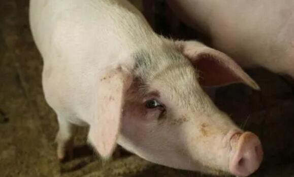 要想把猪养好,就必须要知道猪的这10大表现!