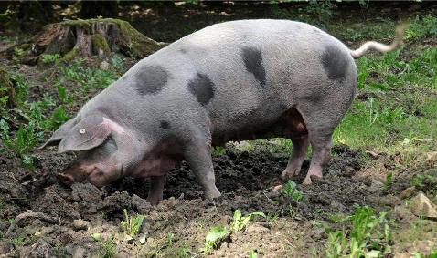 养猪亏损,大型生猪养殖企业还在扩大产能,国家调控真的很难!