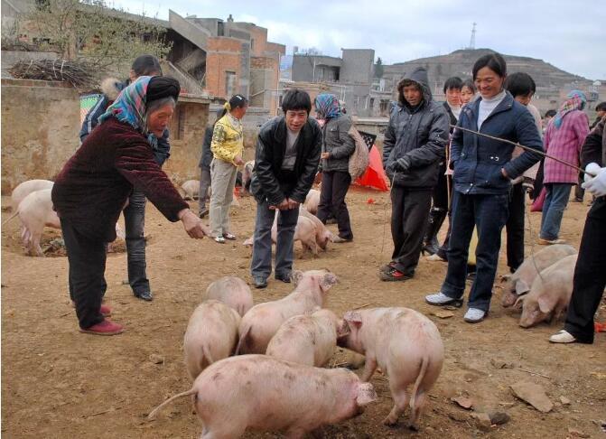 【小妙招】4个卖猪小技巧,想卖个好价钱的过来看看!