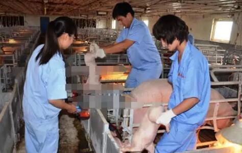 在猪场饲养管理中疫苗和兽药的使用误区有哪些?