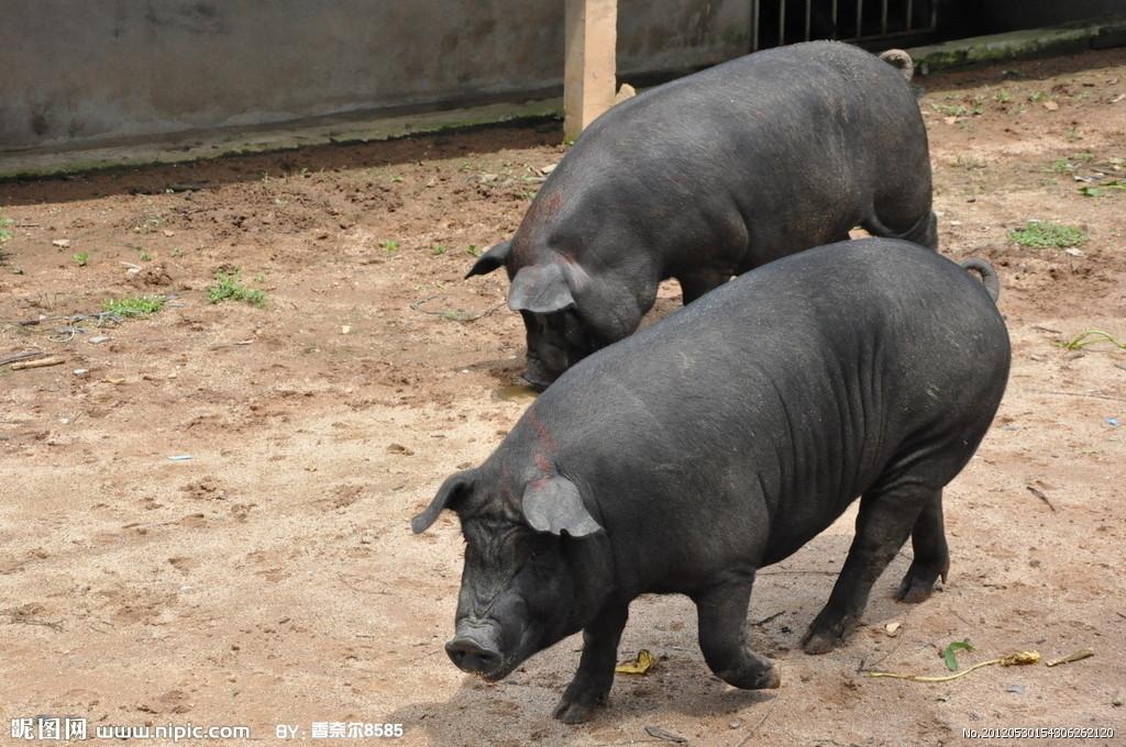 生物安全体系对于猪场的整体猪群健康、生产稳定至关重要,我们平常所说的生物安全,是指采取全方位的疾病防控措施