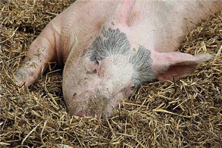 噪音是有可能导致母猪流产的,所以一定要注意这个隐形杀手!